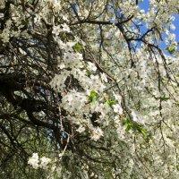 Белые сады ... :: Лариса Корж