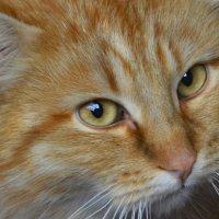 Персей кот :: Наталья (ShadeNataly) Мельник