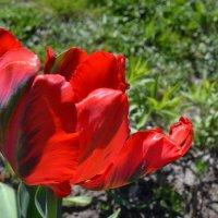 Очарование тюльпана. :: zoja