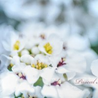 Белые цветы макро :: Ciprian Pascal