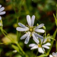 Белый весенний цветок.. :: Юрий Стародубцев