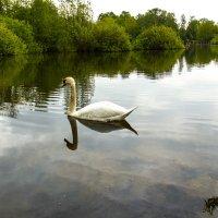одинокий лебедь :: Юрий Шамсутдинов