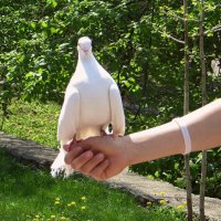Белый голубь - символ мира :: Татьяна Смоляниченко