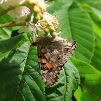 бабочка репейница , чертополоховка IMG_0360 :: Олег Петрушин