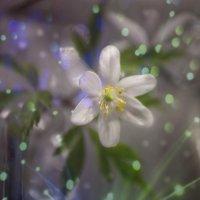 первые цветы :: ИРИШКА СМИРНОВА