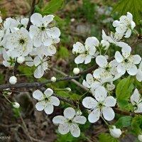 Цветение вишни :: Натала ***