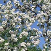яблони в цвету :: Горкун Ольга Николаевна