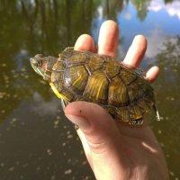 Ловись черепаха, большая и маленькая. :: Люба