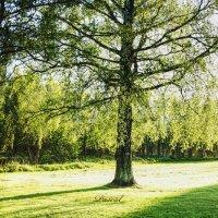 Дерево :: Ciprian Pascal