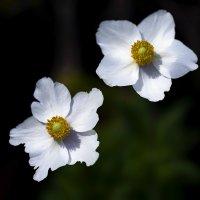 anemones :: Zinovi Seniak