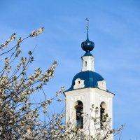 Вишневый сад у старой колокольни, в Песочном (Толгоболь), возле Ярославля :: Николай Белавин