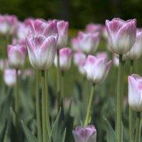 Нежные тюльпаны :: Елена Елена
