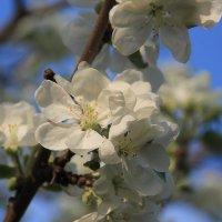 Яблоня в цвету :: Светлана Карнаух