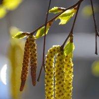 Весна в берёзовых серёжках :: Татьяна Каневская