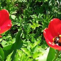 Тюльпаны :: Виктор Елисеев