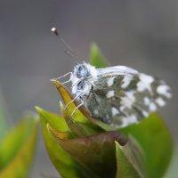 Бабочка. Как зовут? :: ZNatasha -
