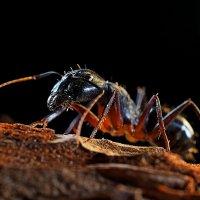 Макро мурашка :: Александр Орлов