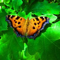 Многоцветница чернорыжая. :: vodonos241