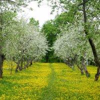 Яблоневый сад в Коломенском :: Татьяна Лобанова
