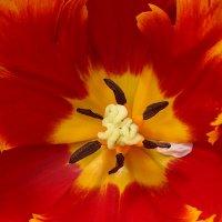 Сердце тюльпана... :: Mila .