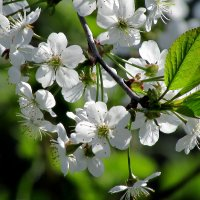 Вишня цветет :: irina