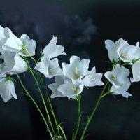 Колокольчики персиколистные белые :: Светлана