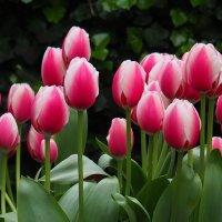 Амстердам. Тюльпаны. :: Alexander Amromin