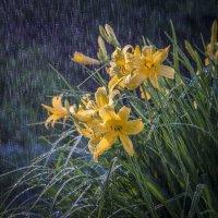 Дождь цветы :: Николай Галкин