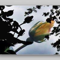 я мечтал о Розе :: Heinz Thorns