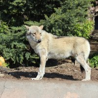 Одинокий волк :: Колибри М