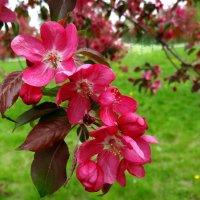 яблони цветут :: Валентина. .