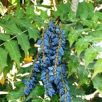 Голубые ягодки :: Лидия Бусурина