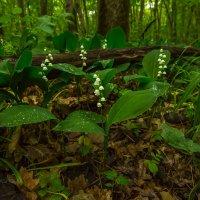 Ландыши в лесу :: Фёдор. Лашков