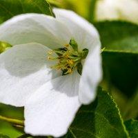 Цветок яблони :: Светлана SvetNika17