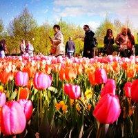 Тюльпаны :: Андрей Головкин
