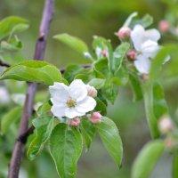 яблони цветут :: Константин Трапезников