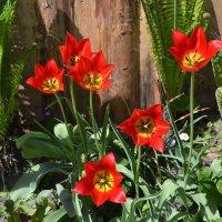 Глазасные тюльпаны. :: zoja