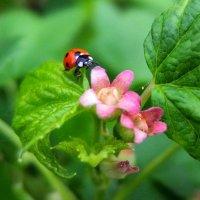 Божья коровка и цветок смородины. :: Люба