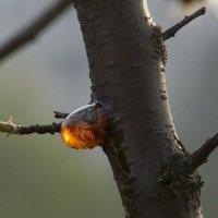 Абрикосовый янтарь :: Syntaxist (Светлана)