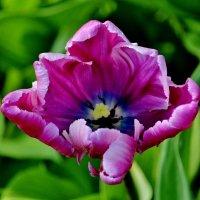 Тюльпаны Елагина острова... :: Евгений Яхим