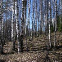 Березовый лес :: Наталья