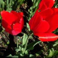 Алые тюльпаны :: Наталья Цыганова