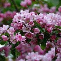 Яблони в цвету - какое чудо!.. :: Ольга Русанова (olg-rusanowa2010)