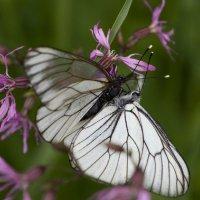 Бабочки :: Николай Галкин