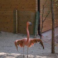 Фламинго :: Владимир Габов