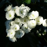 Цветы боярышника :: Лидия Бусурина