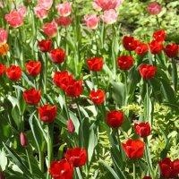 фестиваль тюльпанов :: СВЕТА СВЕТА СВЕТ
