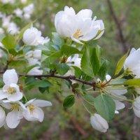 Яблони цветут :: Алексей Сметкин