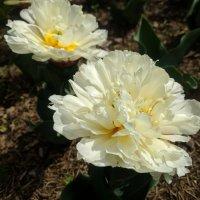 Махровые тюльпаны :: Ирина