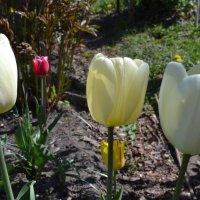 Тюльпановый май. :: zoja